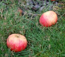 Så er det æbletid