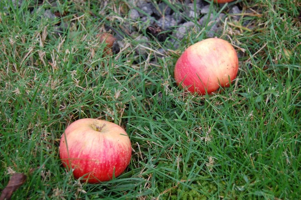 Så er det æbletid 8