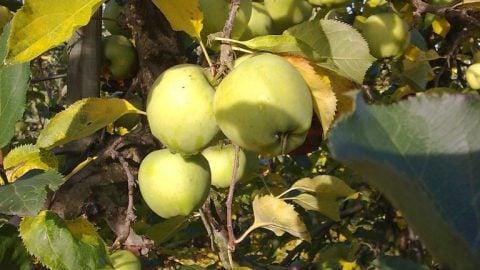Mutzu æbler fra Kildebrønde frugtplantage.