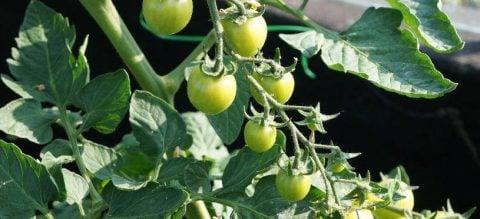 Tomat (fine grønsager)